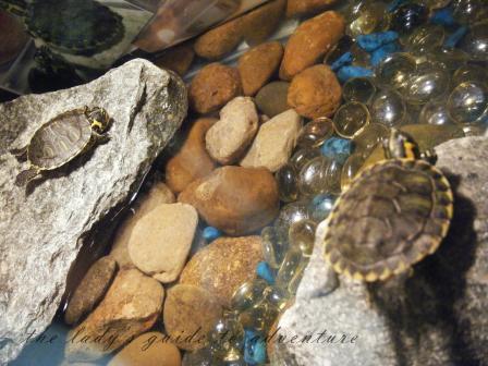 red eared sliders, turtles