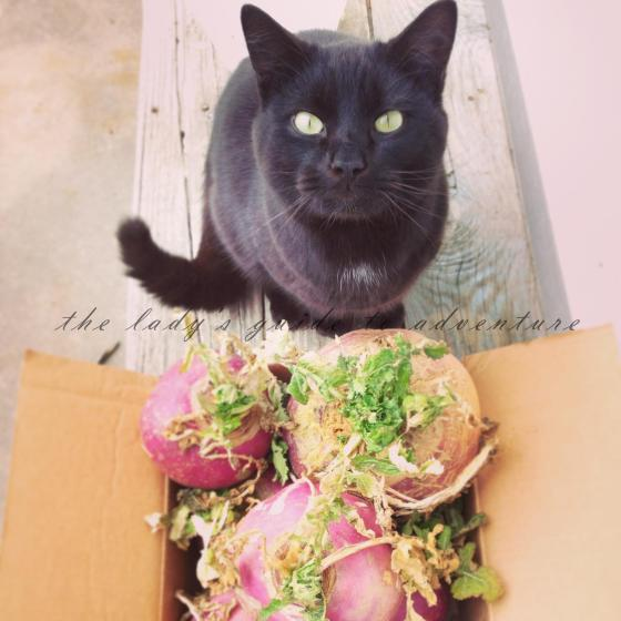 the black cat who stared at turnips
