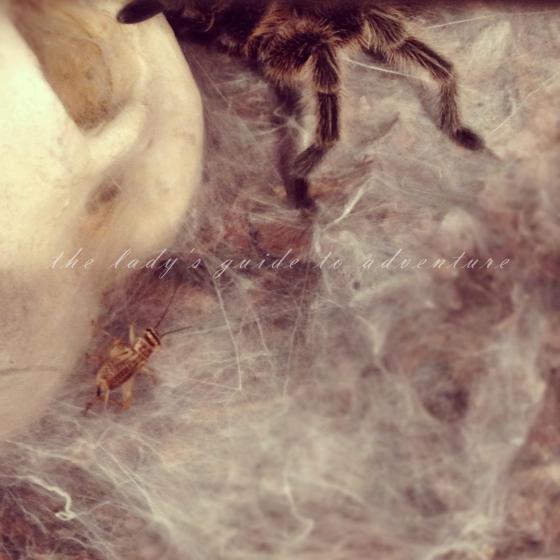 chupacabra, tarantula
