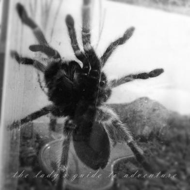tarantula, chupacabra, love, my pet