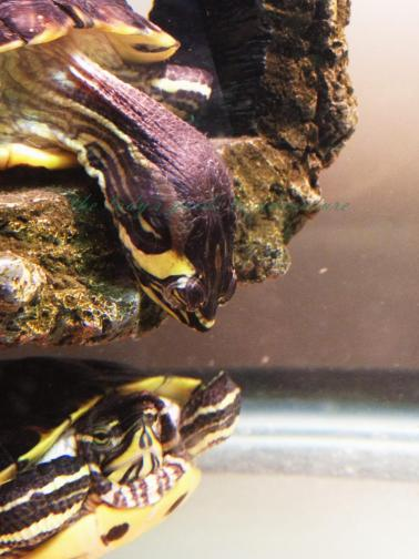red-eared sliders, sliders, turtles, nostradamus and samwise william