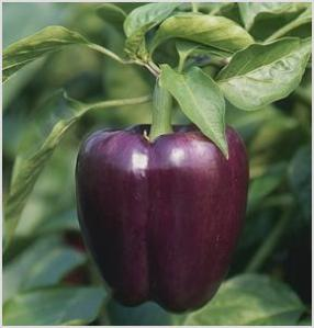 {purple beauty bell peppers from ozark locally grown}