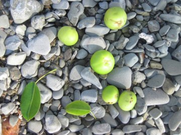green manchineel apples