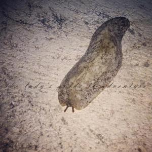 slug, barbados