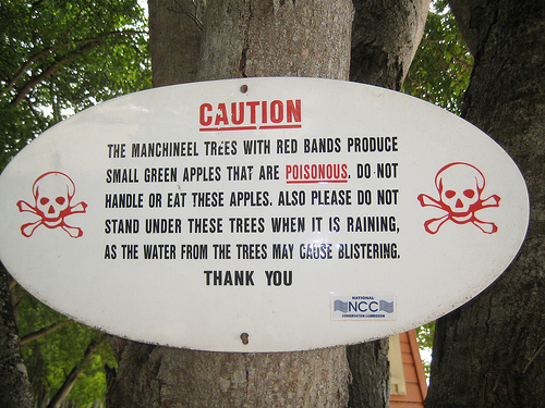 warning not to touch poisonous manchineel tree or it's deadly fruit, green apples fall onto beach, found in barbados, eaten by me