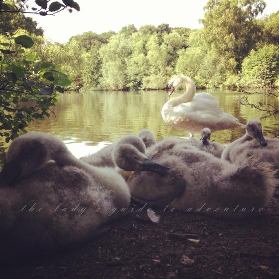 hampstead heath, baby swans, nest of swans