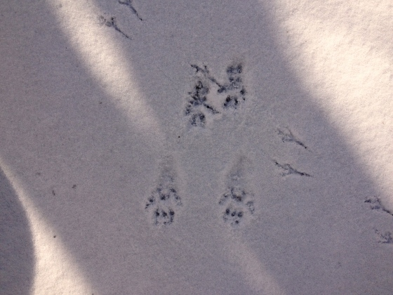 crossing paths, the unknown, animalia, tracks in the snow, wintertime, what is this creature, definitely a bird, squirrel, raccoon, possum, who knows
