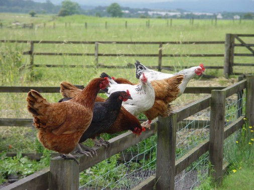 chickens, smallholding, accidental smallholder, sustainability, garden, grow your own, animalia,