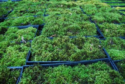 the fern and mossery, sporophytes, the lady's guide to adventure, pincushion moss, moss, garden, moss growers, modern gardens, terrariums, boxes of moss, ferns, mosses,