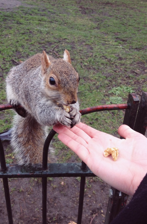 squirrel, very friendly, st james park, squirrel in london, squirrel eating out of my hand, london royal parks, the mall, chummy squirrel, eating a walnut, this squirrel is not afraid, day in the park, american in london, tourist for the day