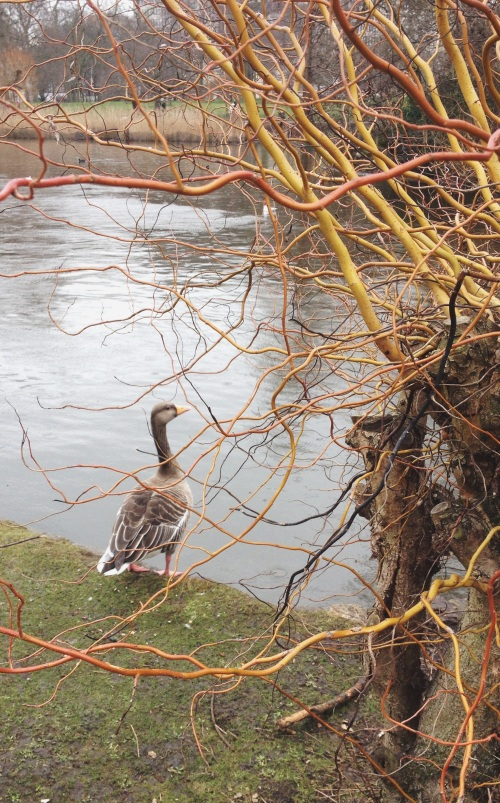 ducks in the park, st james park, animals in london, buckingham palace, the mall, feeding critters, ducks and pigeons, ducks come marching, orange beaks, swimming in the lake, mixed nuts for the birds, pigeon friend, friendly animals, their earth too, critters, gazing out to the water, pretty bird, orange spindly tree, gazing out