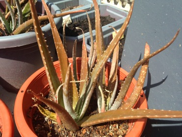 burnt aloe, aloe vera, gardening, from seeds to a little garden, london, sunburnt, brown leaves, aloe with brown leaves, poor little aloe