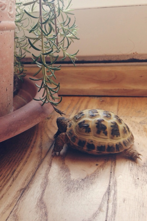 tortoise, pets in london, little turtle, rosemary branch, garden, beautiful creature, tortoise in london, breakfast with a turtle