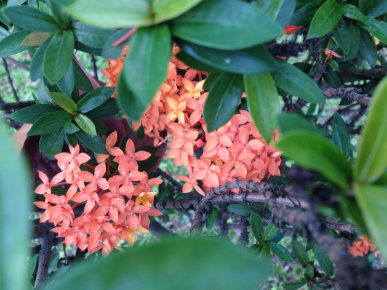singapore, tropical flowers, tropical plants, flora in asia, ixora javanica, cluster of peach flowers, little bursts, colourful blooms, streets of singapore, peach petals