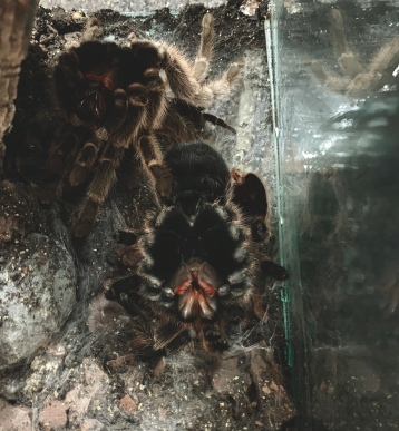 tarantula, chilean rosehair, rose hair, grammastola rosea, moulting, tarantula moult, fangs, shedding her skin, nature, wildlife, companion animal, chupacabra, my love, furry child